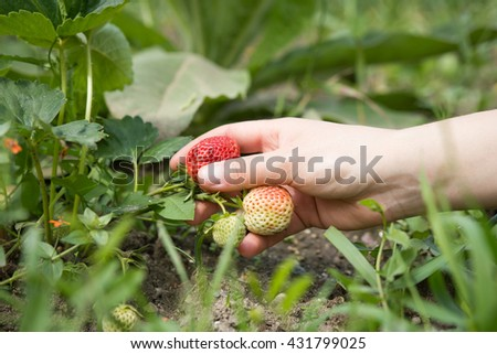 Young girl / woman harvesting fresh strawberry on huge field; hard work (color toned image) - stock photo