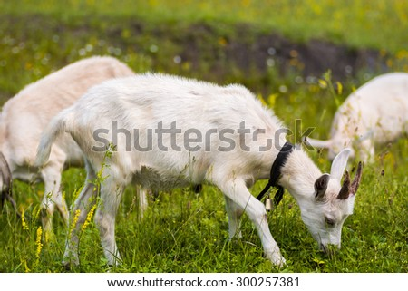 Young goat chewing a grass.