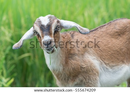 Young goat chewing rice in the paddy field