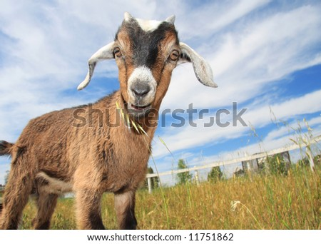 Young goat in pasture of small farm. - stock photo
