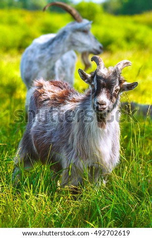 Young goat in the pasture with green grass.