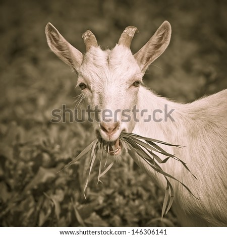 Young goat in the summer pasture