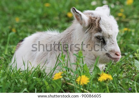 Young goat is resting while lying on grass - stock photo