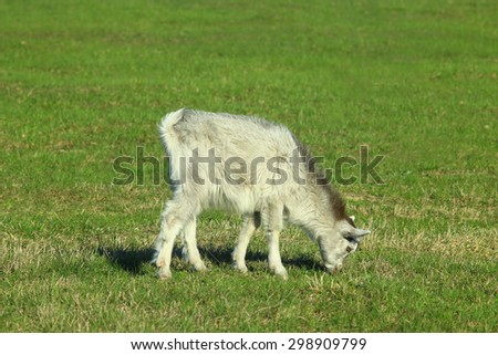 young goat on the pasture