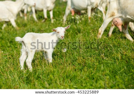 Young goatling on a pasture on a rural farm
