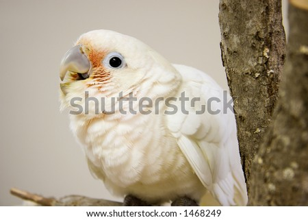 Young Goffin Cockatoo Sitting on a Tree Perch - stock photo