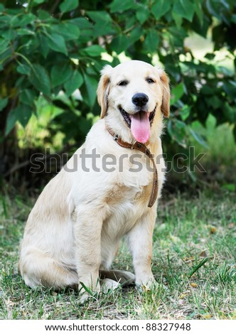 Young Golden Retriever dog sitting on grass