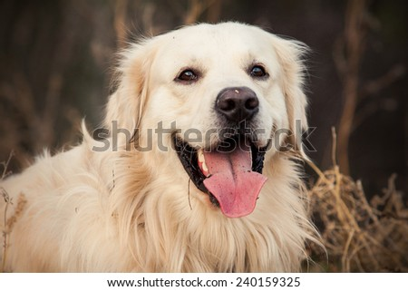 young golden retriever dog with pink tongue sit in autumn park - stock photo