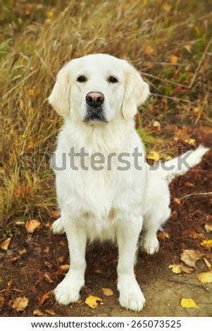 Young golden retriever for a walk in nature. Dog breed labrador outdoors. - stock photo