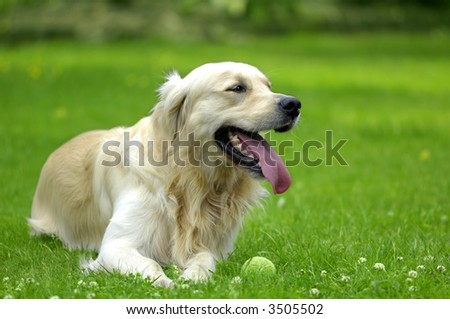 Young golden retriever guarding his tennis ball while huffing and puffing after a game of fetch - stock photo
