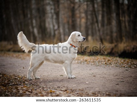 Young golden retriever in autumn park standing - stock photo