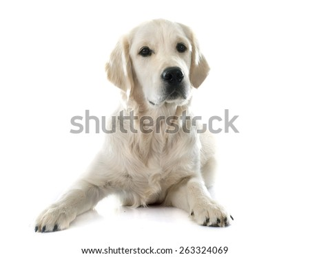 young golden retriever in front of white background