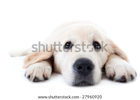 Young golden retriever lying on floor with stretched paws - stock photo