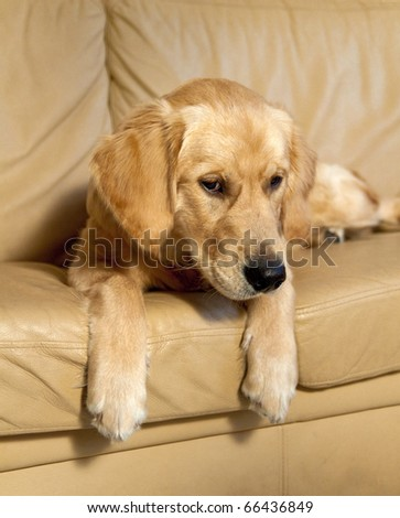 Young Golden Retriever on sofa. - stock photo