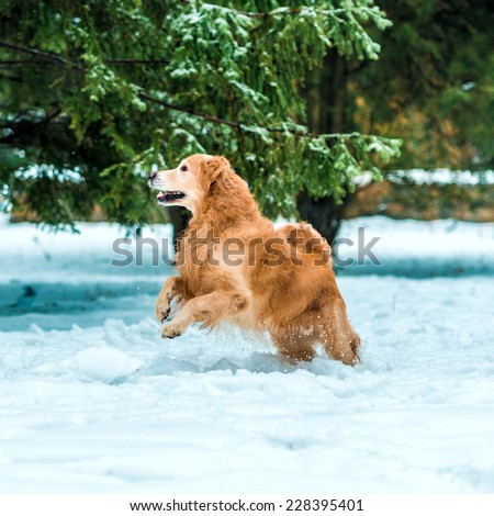 Young golden retriever walk at the snow in winter park - stock photo