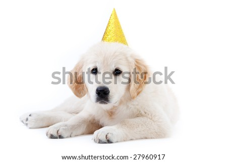 Young golder retriever puppy with yellow birthday hat - stock photo