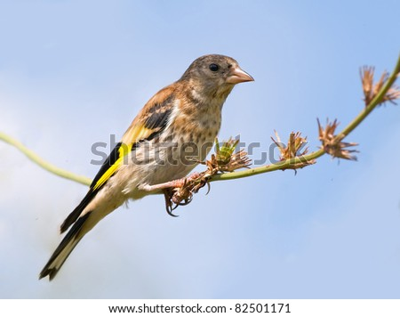 young goldfinch - stock photo