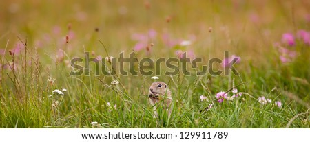 Young gopher on the field between flowers - stock photo
