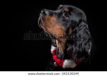 Young Gordon Setter portrait on black with Christmas accessories. - stock photo
