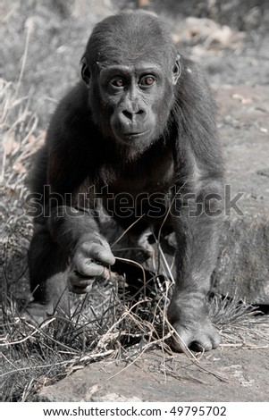 Young Gorilla - stock photo
