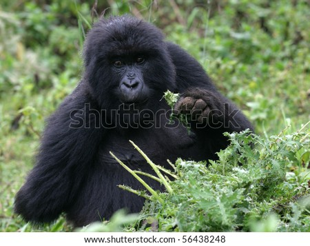 young gorilla at volcanoes national park, rwanda - stock photo