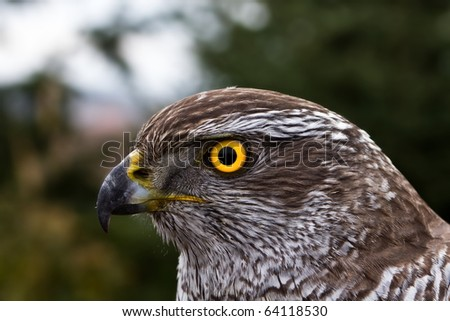 young goshawk close up - stock photo