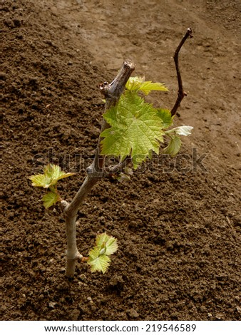 young grape cutting with first leaves - stock photo