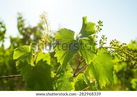Young grape leaves and grain in backlight - stock photo