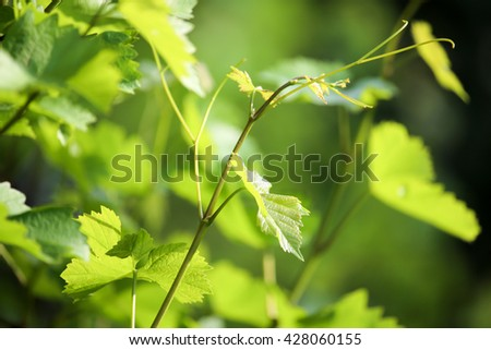 Young grape leaves in nature