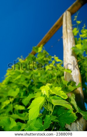 Young grapevine in early summer, shot from low perspective against cloudless blue sky, shallow DOF (focus is on freshly grown leaves on the branch in the lower right corner) - stock photo