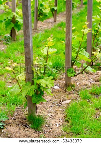 Young grapevine in the spring. Teleobjective shot with shalow DOF. - stock photo