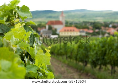 Young grapevine leaves - stock photo