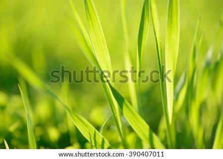 Young grass close-up on the field background sunny and vibrant - stock photo