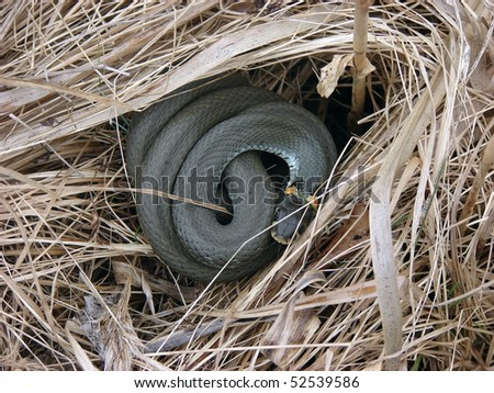 Young grass-snake on dry grass - stock photo