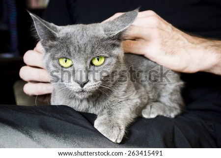 Young Gray Feral Cat Being Socialized While Sitting in Man's Lap - stock photo