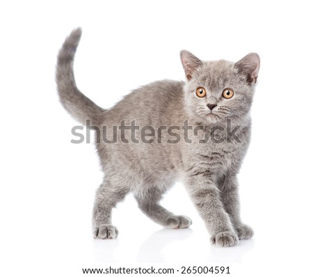 Young gray kitten standing. isolated on white background