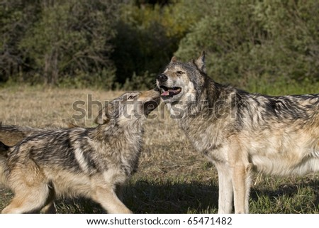 Young Gray Wolf displays affection for the older adult wolf - stock photo