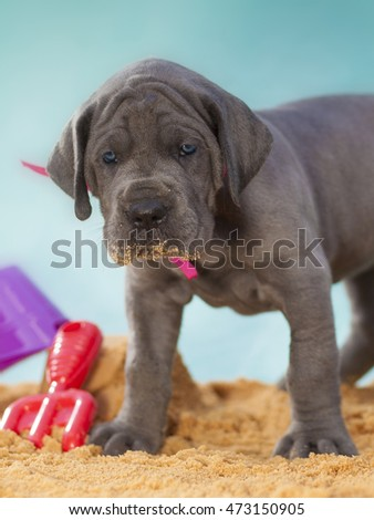 Young Great Dane puppy on sand giving a warm look at the camera