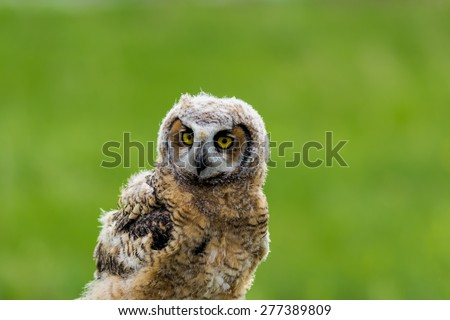 Young Great Horned Owl - stock photo