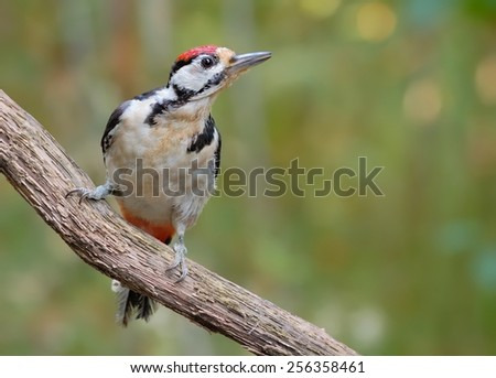 Young Great spotted woodpecker - stock photo