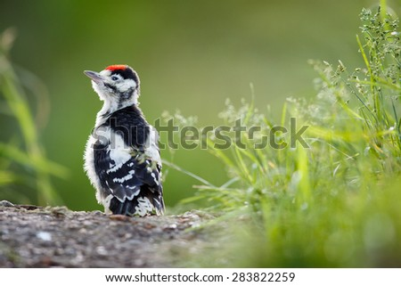 Young Great Spotted Woodpecker on the ground right after leaving the nest, looking around, pondering the question of flying - stock photo