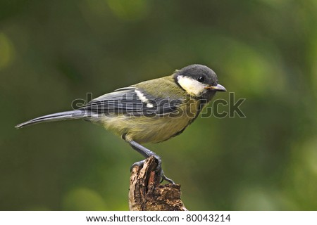 Young great tit (Parus major) - stock photo