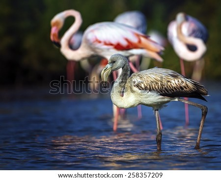 Young greater flamingo, phoenicopterus roseus, walking in the water next to adults in Camargue, France - stock photo