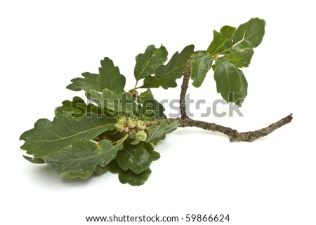 Young Green Acorns on branch with oak leaf. - stock photo