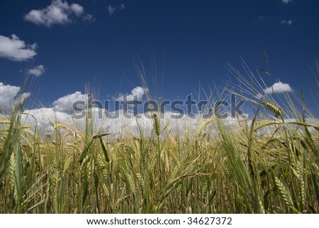 Young green barley growing - stock photo