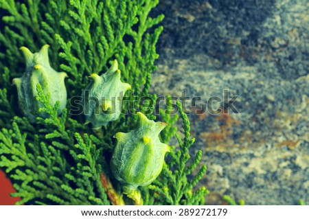 Young green branches of a thuja with fruits on a stone textural surface