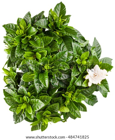 young green bush of gardenia in the terracotta pot isolated on white background