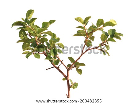 Young green cherry wood in the soil on a white background