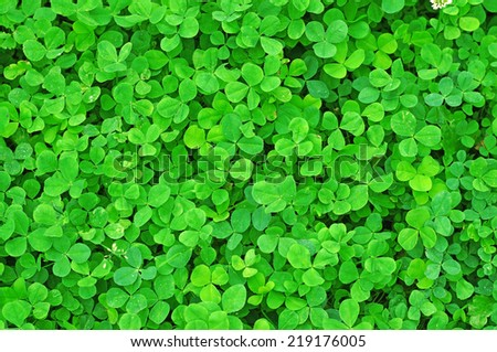 Young green clover in the rain drops as background                                - stock photo