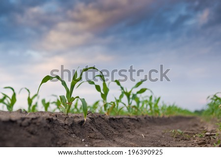 Young green corn in agricultural field in early spring, selective focus. - stock photo